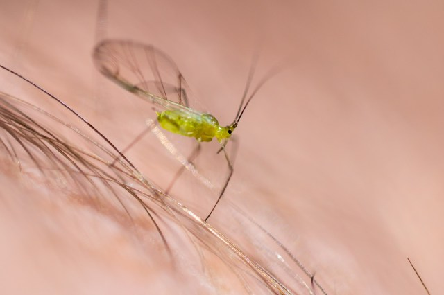 Winged aphid (having landed on my arm)