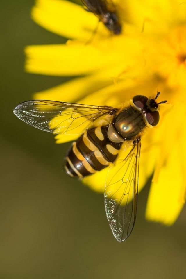 A hoverfly on an autumn hawkbit flower