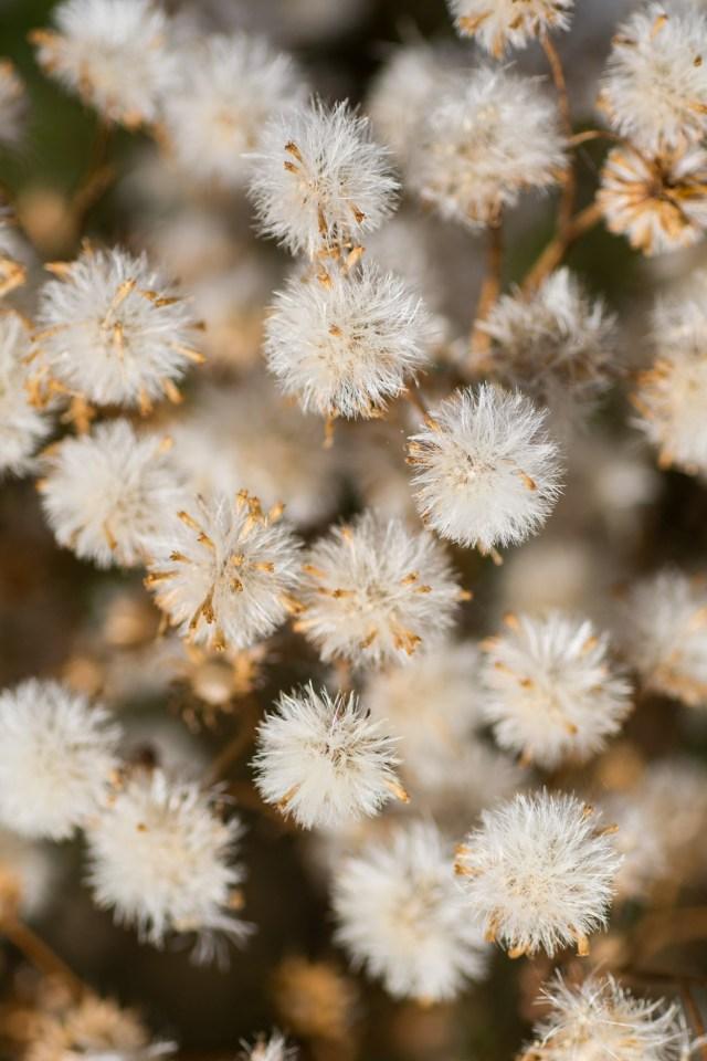 Compact seed heads of ragwort