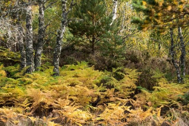 Autumnal bracken