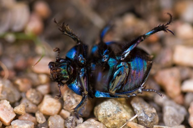 Iridescent dung beetle stuck on its back