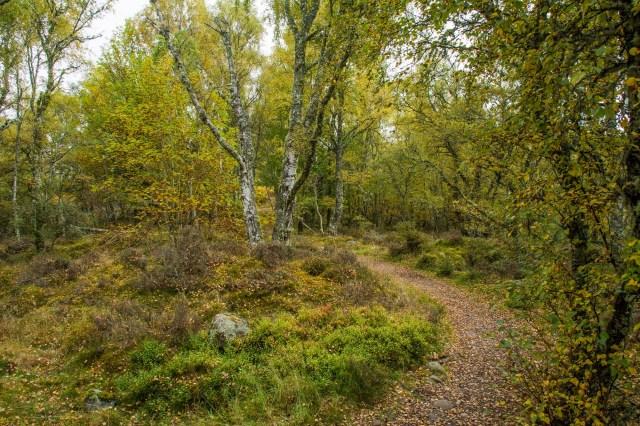 Birch leaves falling
