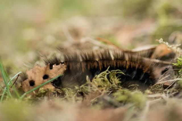 A large fox moth caterpillar still fattening up for winter