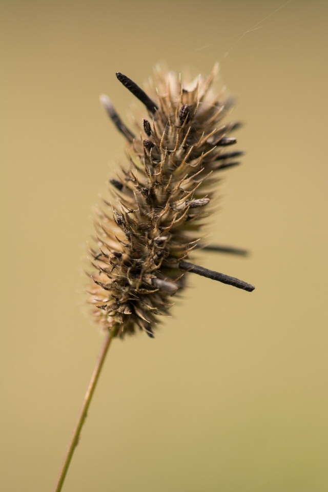 Ergot in timothy grass - one of our more toxic species