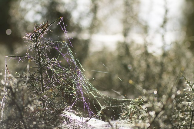 Webs and dew on gorse