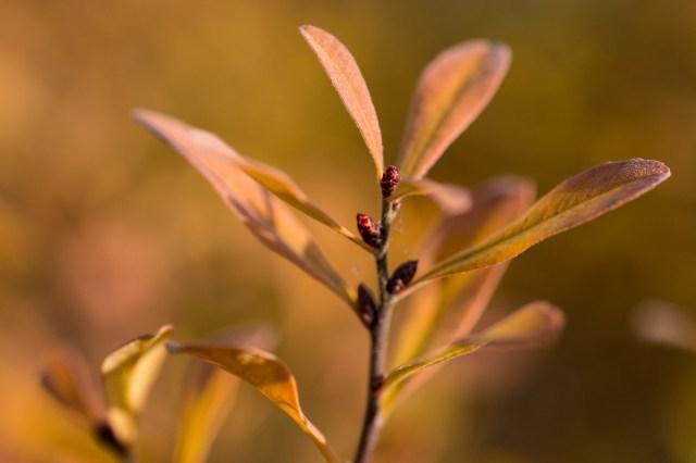 Bog myrtle turning pinkish gold