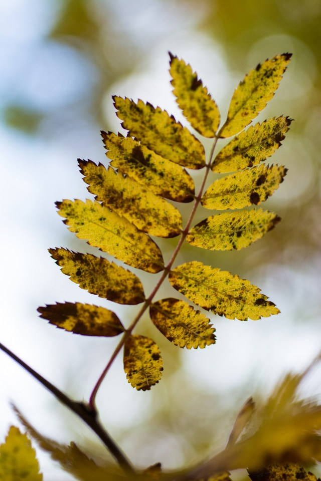 Yellow rowan leaf