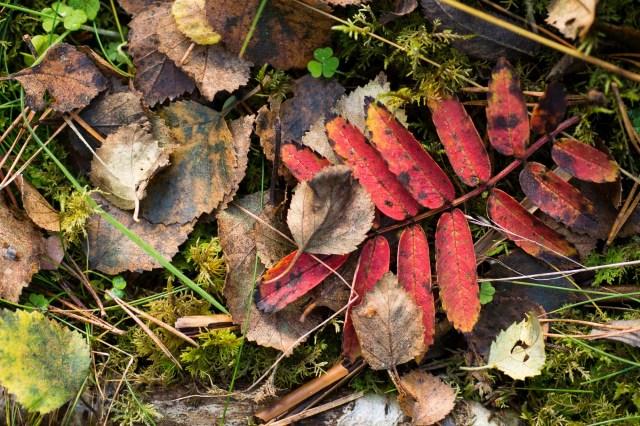 Fallen rowan leaf