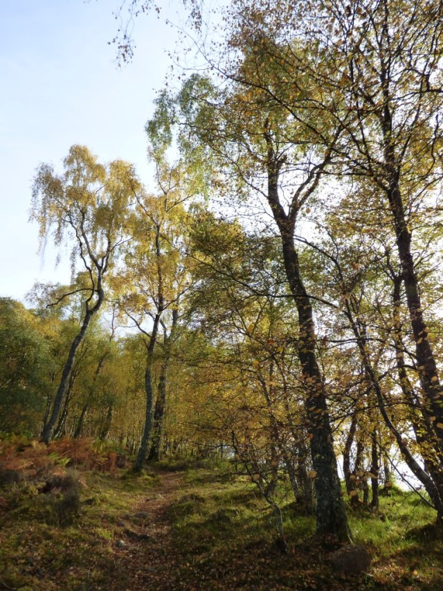 More autumn birches