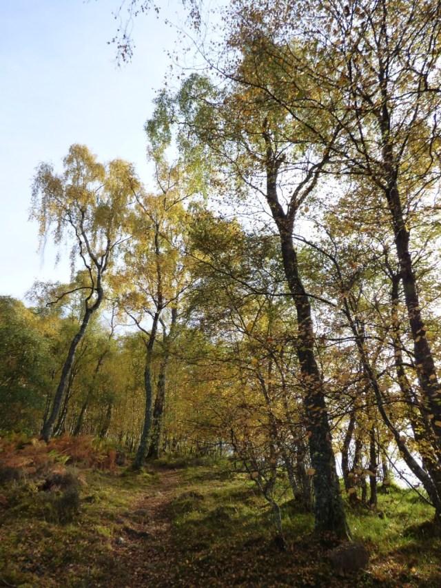 More autumn birches