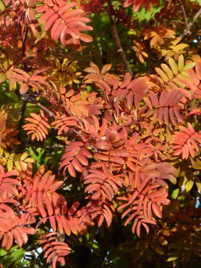 Red rowan leaves