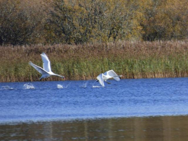 Stroppy swans