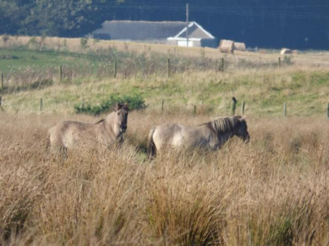 Konik ponies - grazing is an important part of wetland management at Loch of Strathbeg