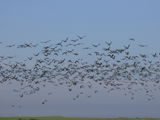 Geese in flight - Loch of strathbeg is an important roost site for tens of thousands of pink-footed geese