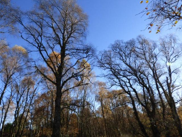 Some of the birches are quite bare now