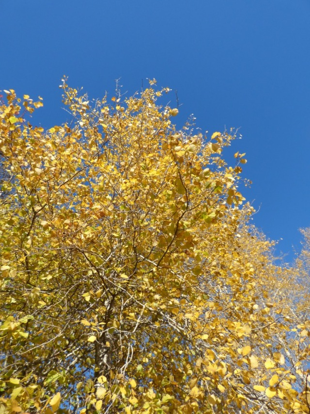 Aspens go the most vivid golden colour