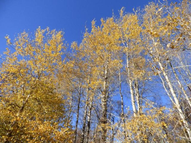 Golden aspens, fast losing their leaves