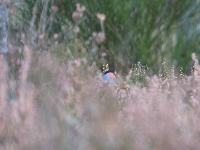 Bullfinch feeding on heather seed