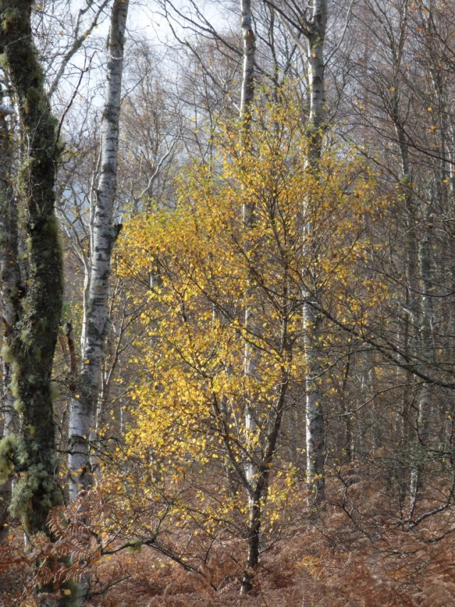 One of the last golden birches