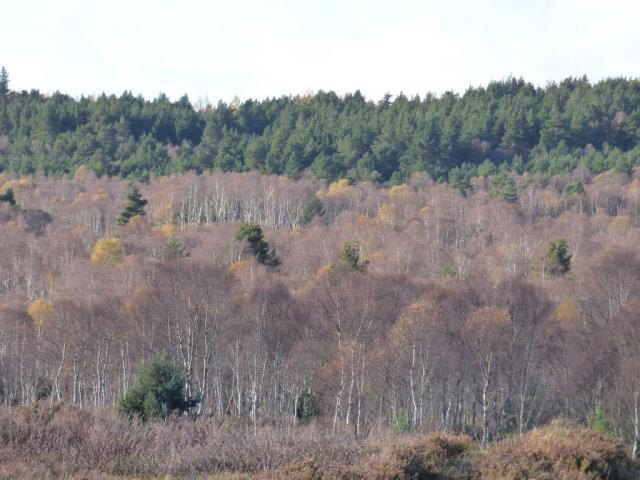 Almost all of the birches are bare now