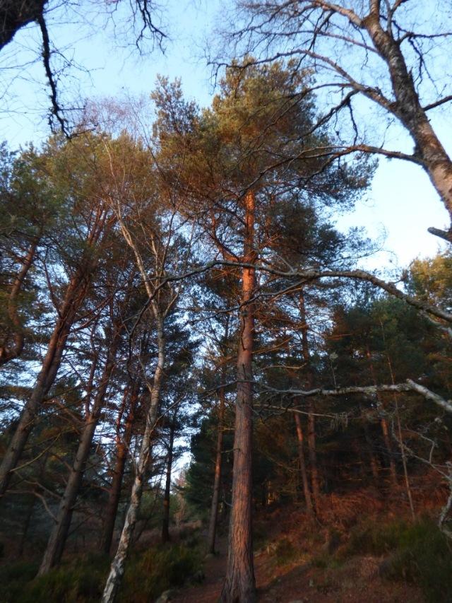 Golden light on pine trees