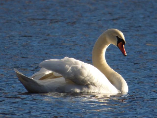 A male mute swan