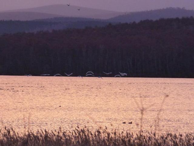 Whoopers flighting off Loch Davan