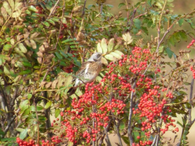 Fieldfare, tree guarding