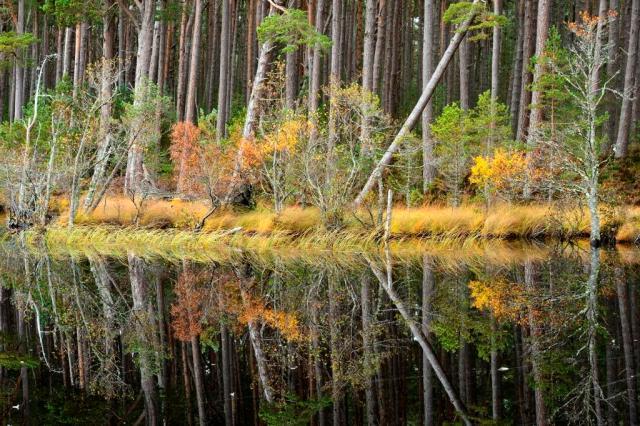 Pines, Loch Garten