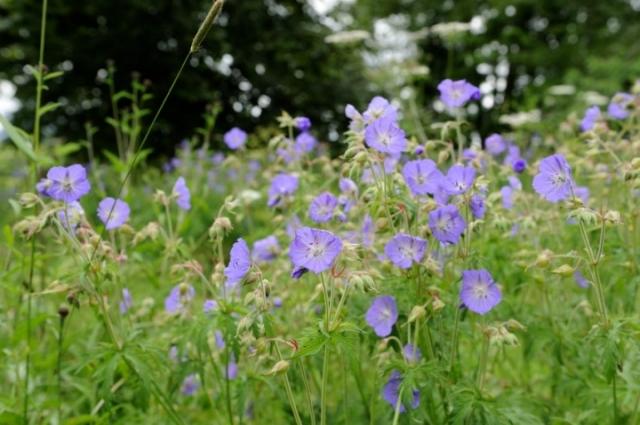 Wild flowers on field edges