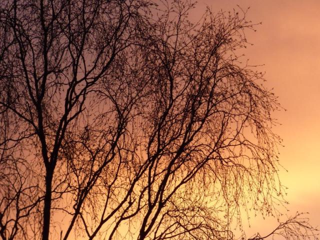 Birches against the sunrise