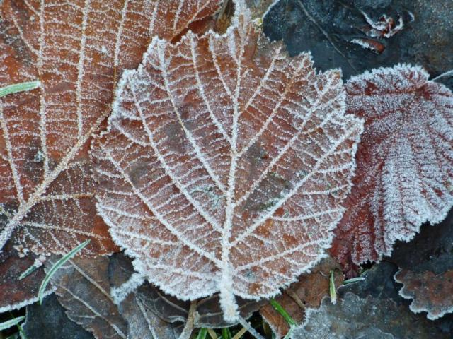Frosty hazel leaf