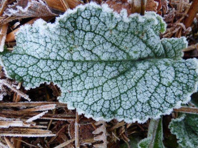 Frosty foxglove leaf