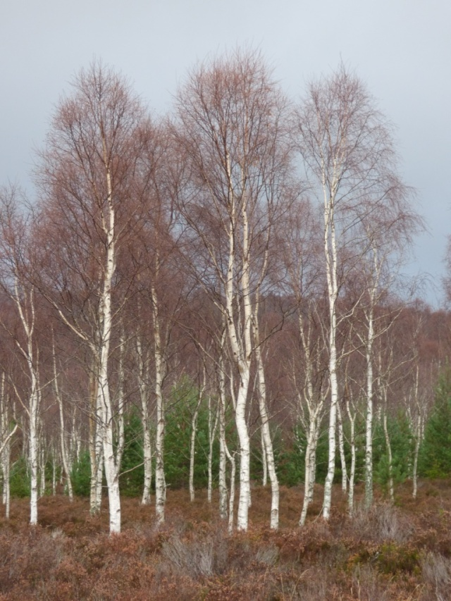 The pale bark of the birches is striking against a grey sky