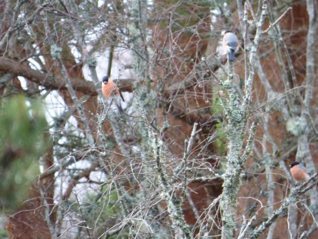 Three male bullfinches in birch tree