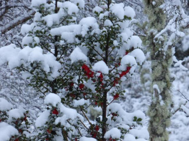 The red berries of the holly are one of the few colours in the woods
