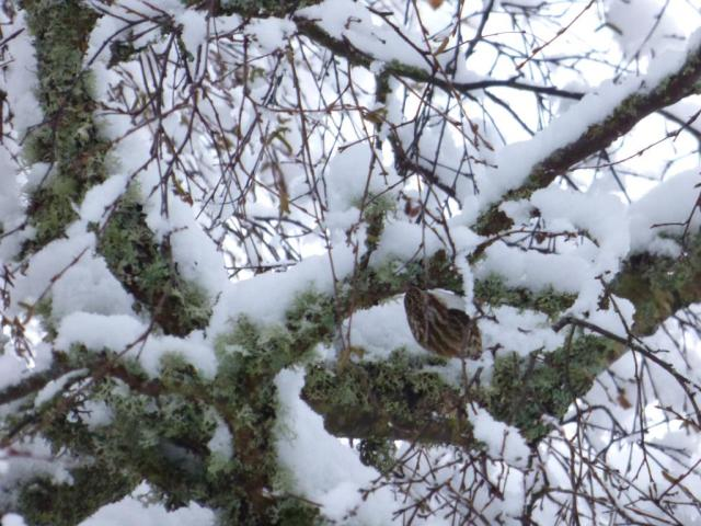 Treecreeper foraging on the not-snowy underside of the branches