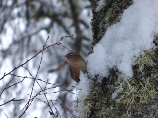 Wren on snowy tree