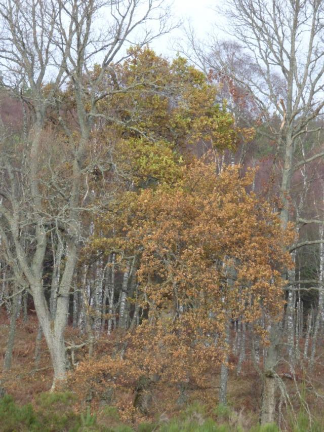 A confused oak tree
