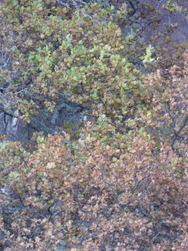 Still-green oak leaves