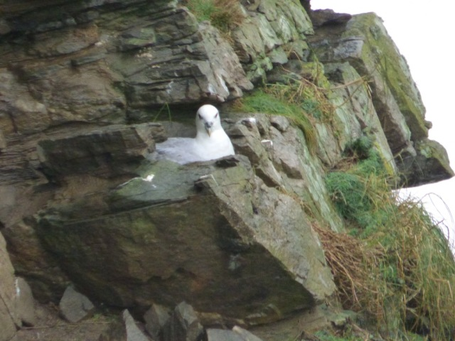 What you looking at? This is my spot. The fulmars are establishing territories on the cliffs.