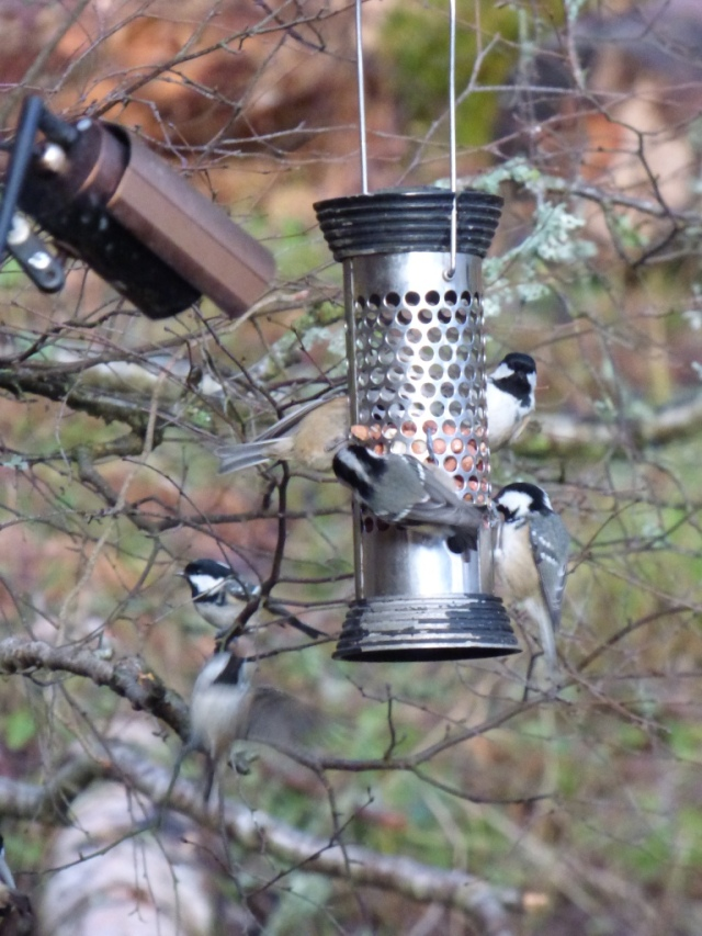 Coal tit feeding frenzy