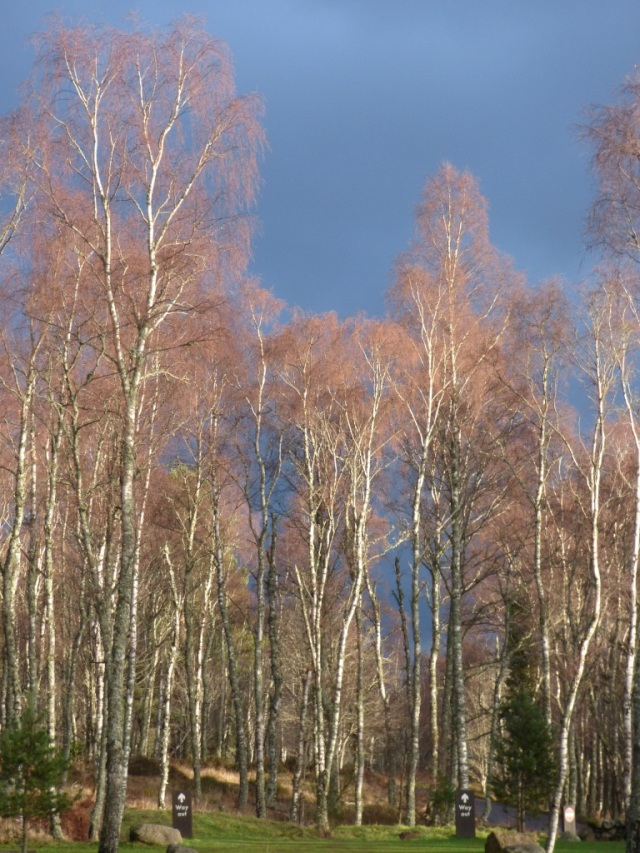 Birches against a dramatically dark sky