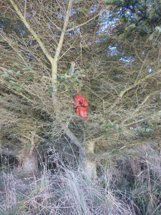 An unexpected sighting of a red squirrel at Forvie....