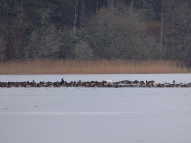 Over 400 ducks were crammed into a tiny patch of open water on Loch Davan