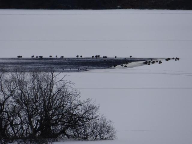 Ducks on the only unfrozen bit of Loch kinord