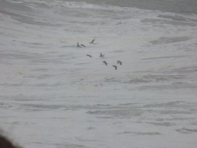 Little auks just offshore