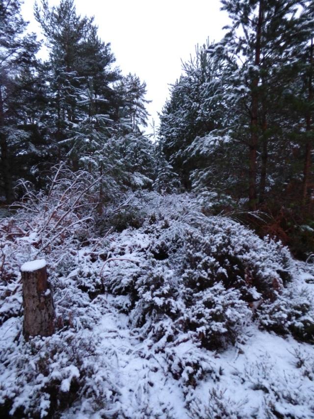 Snowy pine woods
