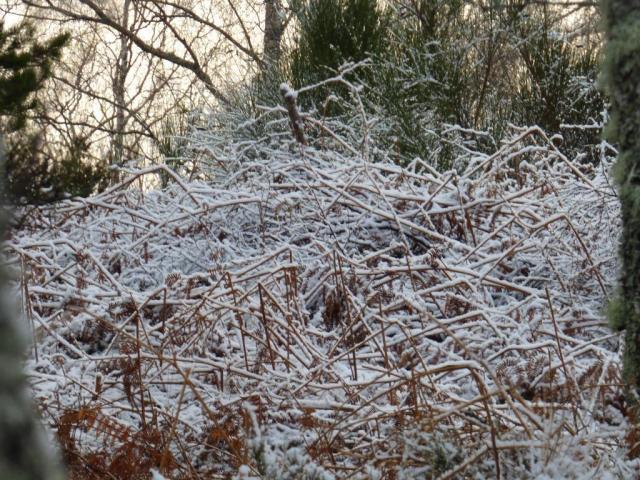 Snow-covered bracken