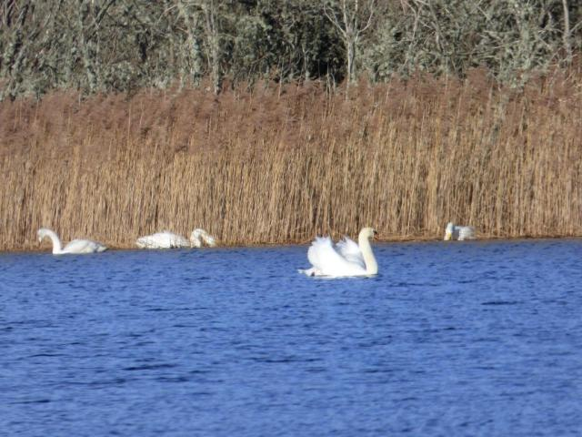 The resident mute swans aren't happy about the whoopers dropping in